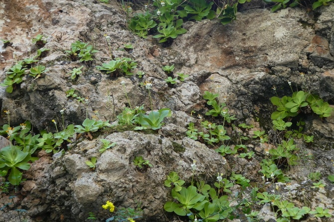 Die Palinuro-Primel wächst auf Felsen