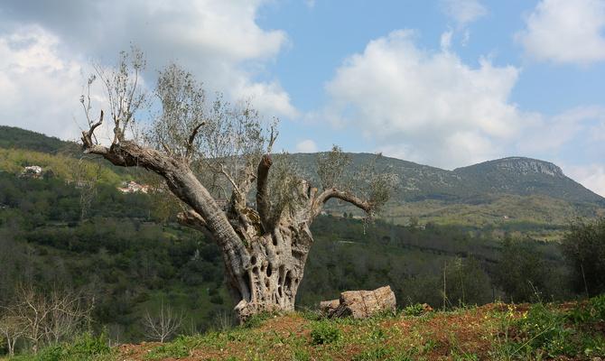 Der hat schon viel erlebt: Tausend Jahre alter Olivenbaum in Morigati